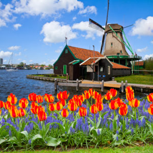 netherlands windmills and tulips